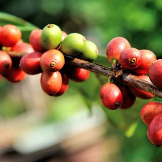 Coffee Bean Fruit